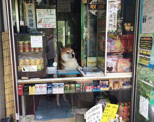 Японский пес-продавец породы сиба-ину стал звездой интернета . Изображение № 2.