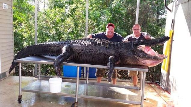 Двое жителей Флориды поймали 350-килограммового аллигатора. Изображение № 1.