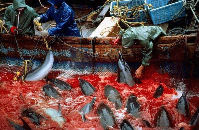 Как власти Японии закрывают глаза на массовые убийства дельфинов в дань древней традиции. Изображение № 1.