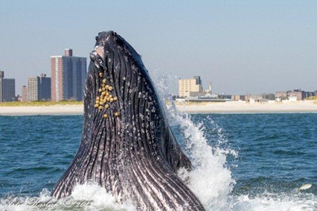 Акваторию Нью-Йорка заполонили акулы и киты. Изображение № 3.