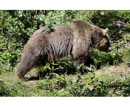 Швейцарцы убили единственного медведя в стране. Изображение № 3.
