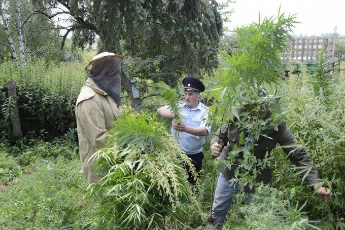 В Костроме пчёлы пытались отбить плантацию конопли у полицейских. Изображение № 3.