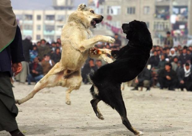 В столице Грузии запретили собачьи бои. Изображение № 1.