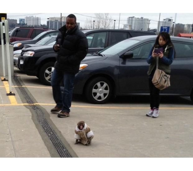 В Канаде обезьяна в пальто зашла в магазин IKEA. Изображение №4.