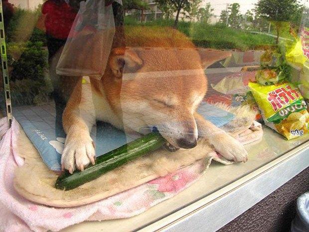 Японский пес-продавец породы сиба-ину стал звездой интернета . Изображение № 4.