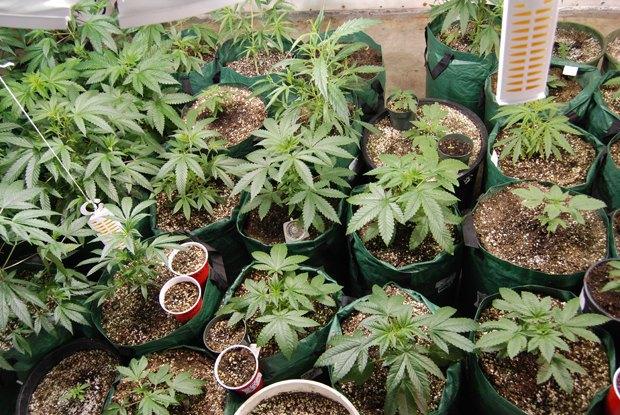 В канадском доме престарелых «Вечно молодые» обнаружили 550 кустов марихуаны. Изображение № 1.