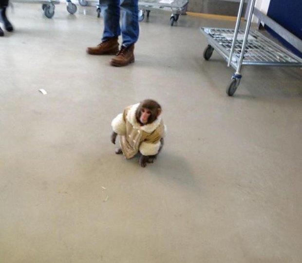 10 обезьян, ставших медийными персонами. Изображение № 1.