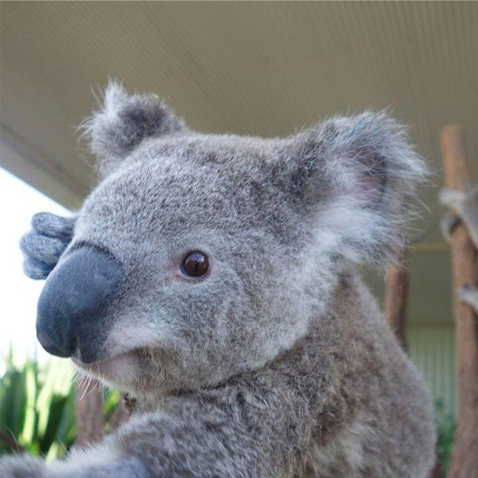 Сиднейских коал научили делать селфшоты. Изображение № 3.
