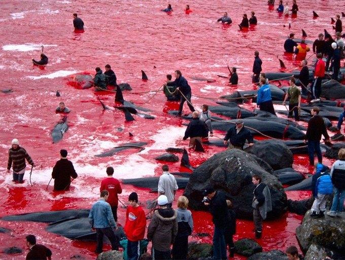 Как власти Японии закрывают глаза на массовые убийства дельфинов в дань древней традиции. Изображение № 2.