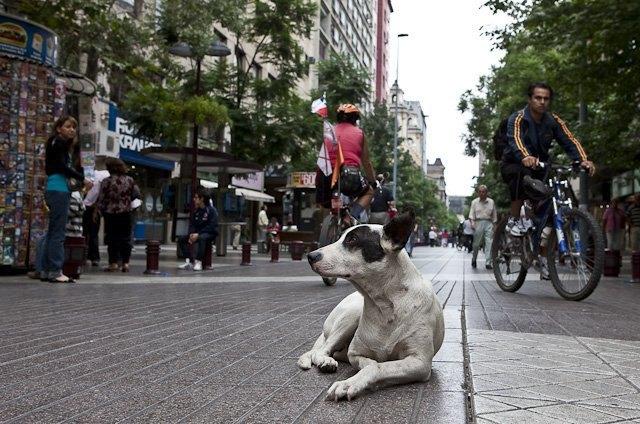 В Чили создан спецотряд из бездомных собак. Изображение № 1.