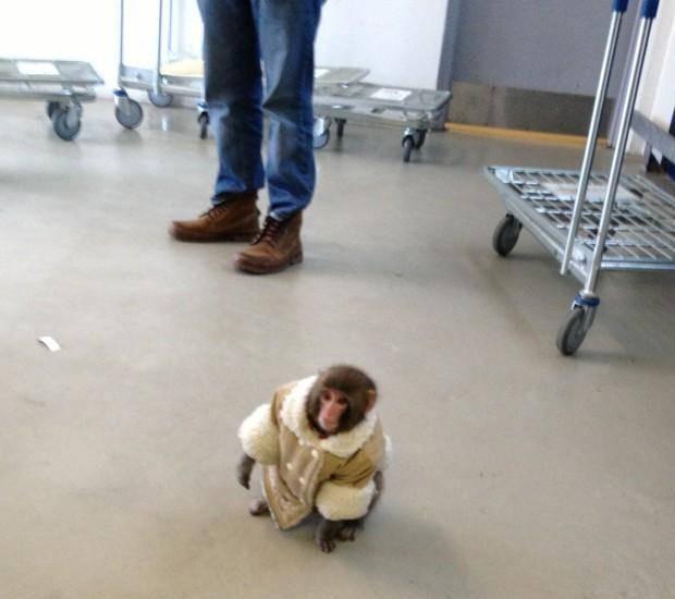 В Канаде обезьяна в пальто зашла в магазин IKEA. Изображение №1.