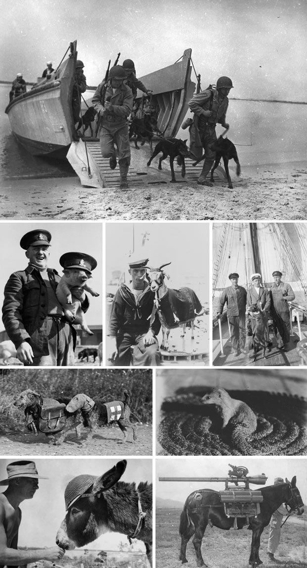 Как обезьяна-капрал, медвежонок-рядовой и другие животные помогали солдатам на войне. Изображение № 1.
