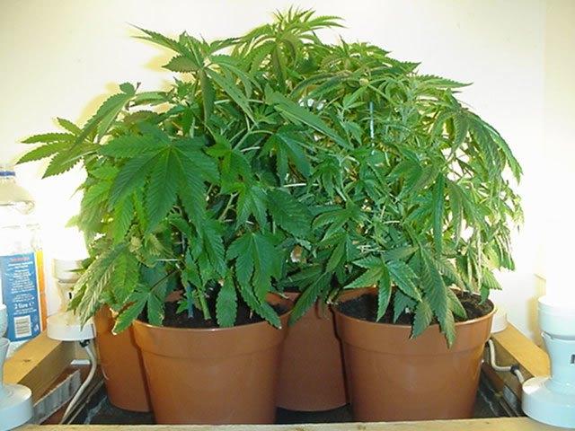 Валлийцы вырастили урожай марихуаны на городских клумбах. Изображение № 1.