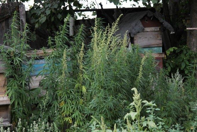 В Костроме пчёлы пытались отбить плантацию конопли у полицейских. Изображение № 4.