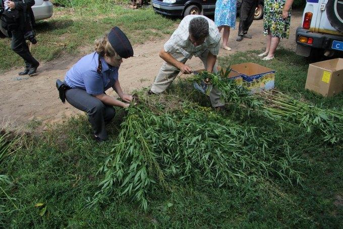 В Костроме пчёлы пытались отбить плантацию конопли у полицейских. Изображение № 1.