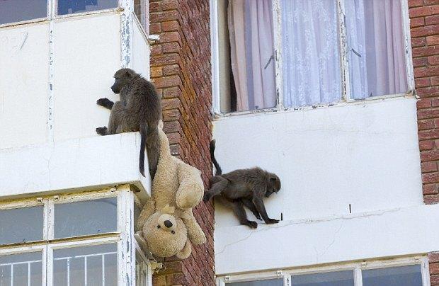 Кейптаун оккупировала банда бабуинов. Изображение № 1.