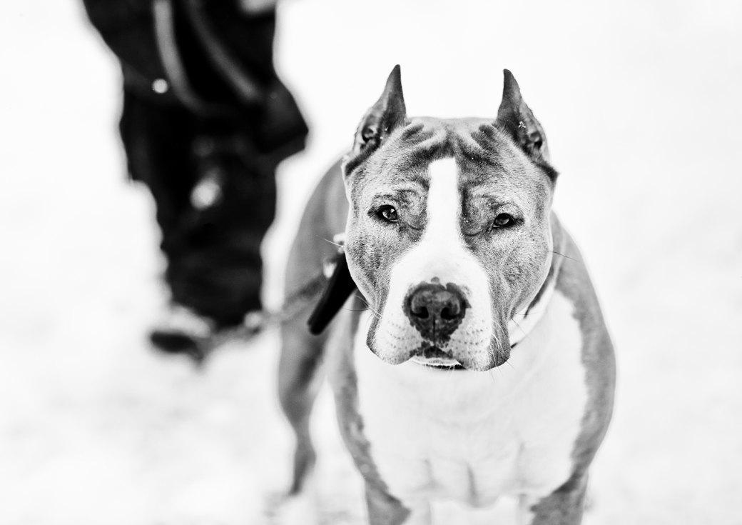 Владельцы бойцовых собак рассказывают о своих питомцах. Изображение № 5.