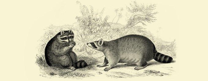 Фанзиль, капибара, скунс: Кого завести дома вместо кошек и собак. Изображение № 1.