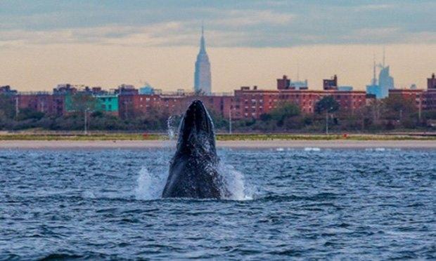 Акваторию Нью-Йорка заполонили акулы и киты. Изображение № 2.