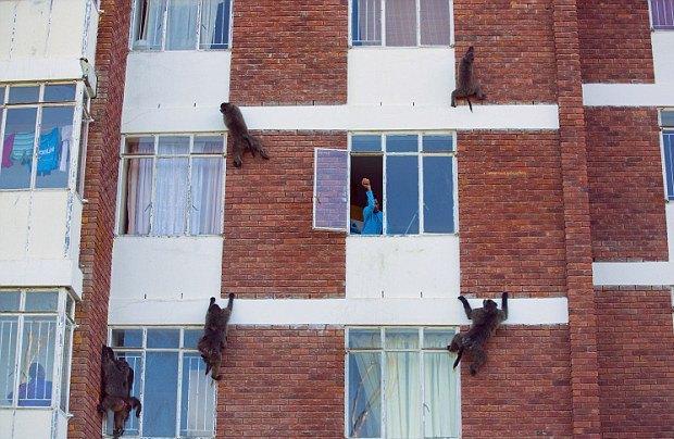 Кейптаун оккупировала банда бабуинов. Изображение № 2.