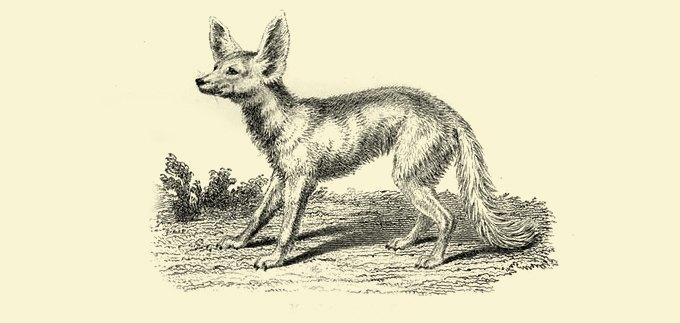 Фанзиль, капибара, скунс: Кого завести дома вместо кошек и собак. Изображение № 7.