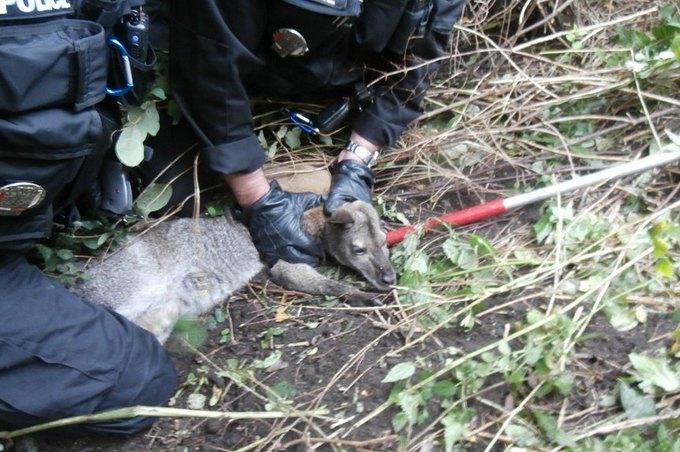 Чешская полиция арестовала кенгуру за ограбление магазина. Изображение № 1.