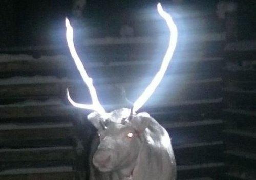 Оленей Лапландии снабдят светоотражающими рогами. Изображение № 1.