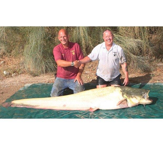 Англичанин поймал самого большого сома-альбиноса. Изображение № 2.