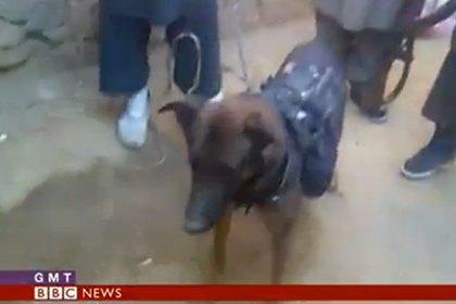 В Афганистане талибы взяли в плен американскую собаку. Изображение № 1.