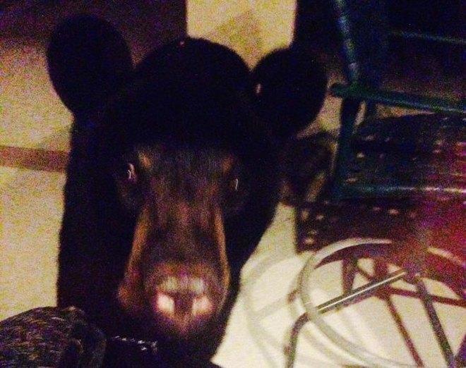 Пьяный медведь ограбил дом во Флориде. Изображение № 1.