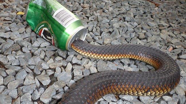 Австралиец отметил укус ядовитой змеи бутылкой пива. Изображение № 1.