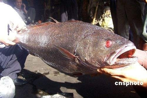 Китайский рыбак поймал рыбу из «Красной книги» ценой 473 тысячи долларов   . Изображение № 2.