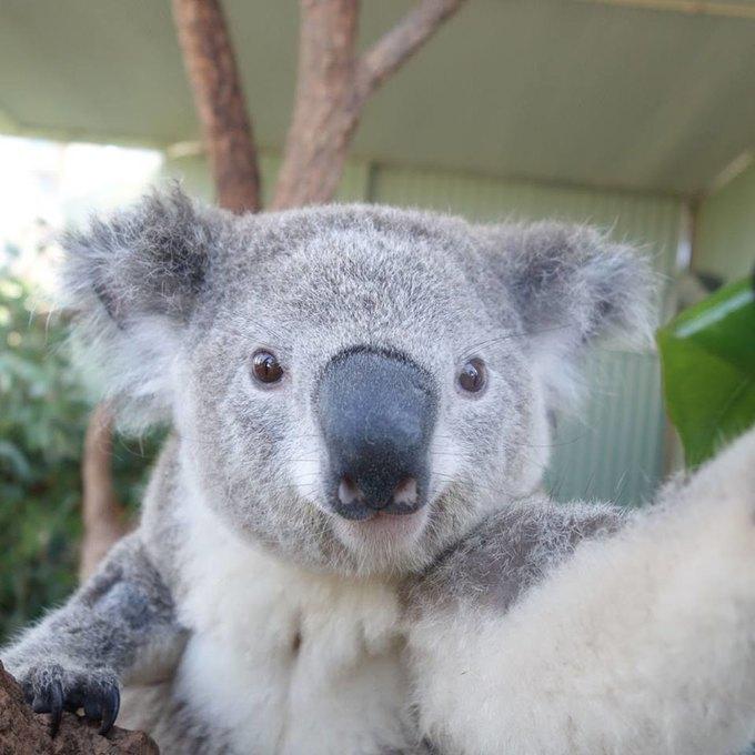 Сиднейских коал научили делать селфшоты. Изображение № 5.