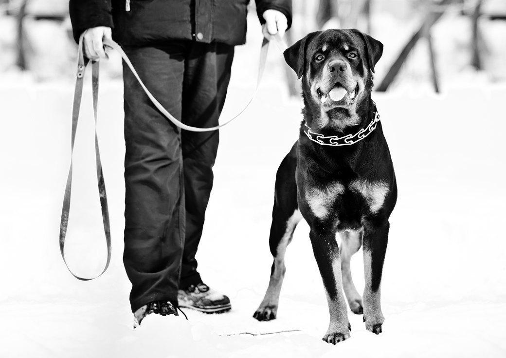 Владельцы бойцовых собак рассказывают о своих питомцах. Изображение № 3.