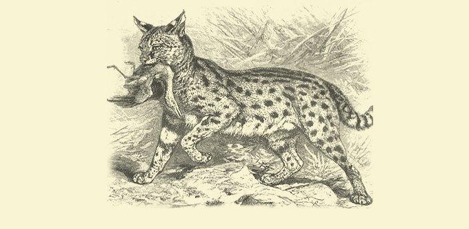 Фанзиль, капибара, скунс: Кого завести дома вместо кошек и собак. Изображение № 5.