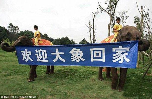 Китайские слоны-наркоманы избавились от героиновой зависимости. Изображение № 1.