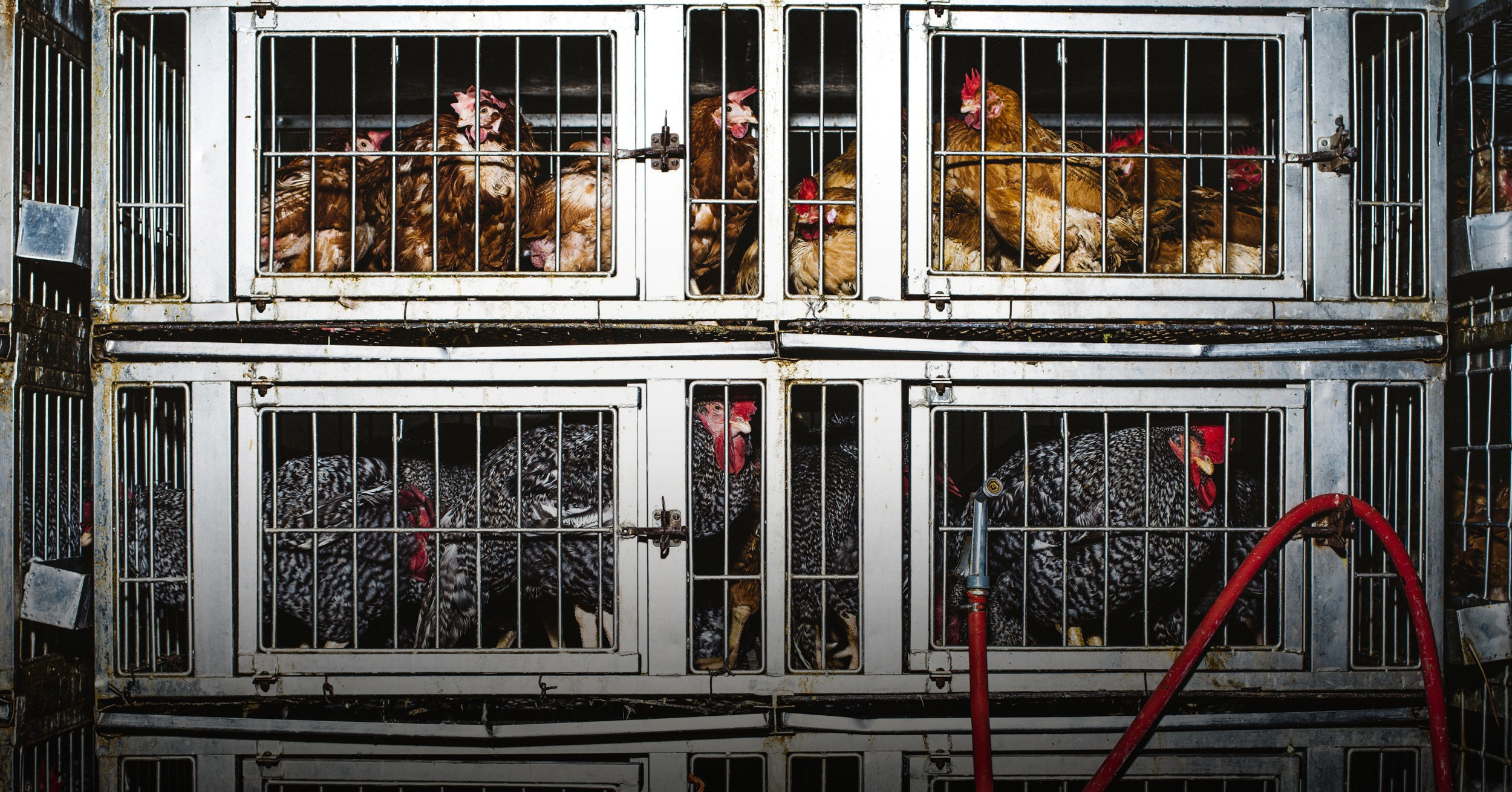 The messy business of NYC's live poultry industry