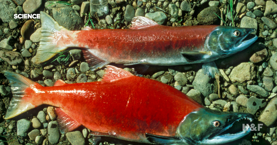 Weed farms are drying up California and killing salmon