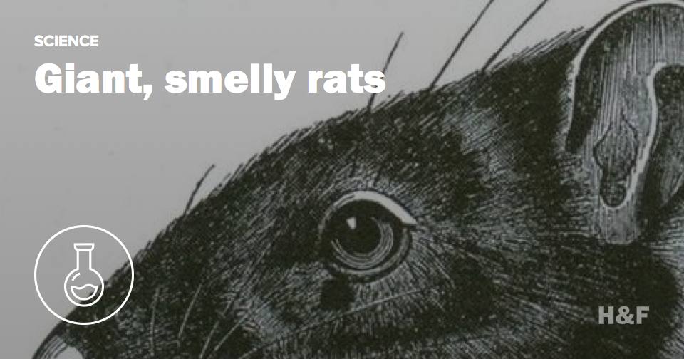 Rats were once as big as cats, smelled awful when cooked