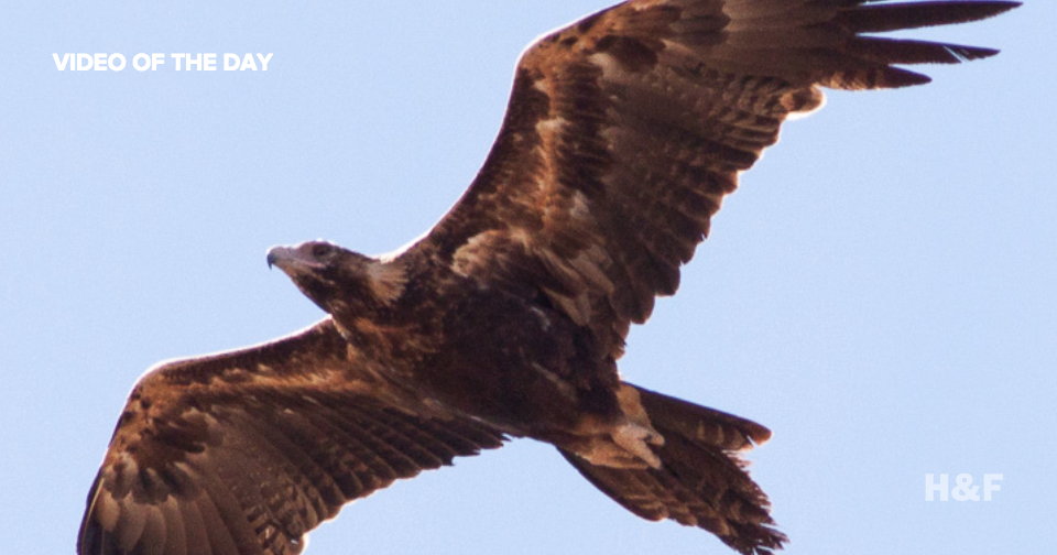 Watch a wedge-tailed eagle punch a drone out of the sky