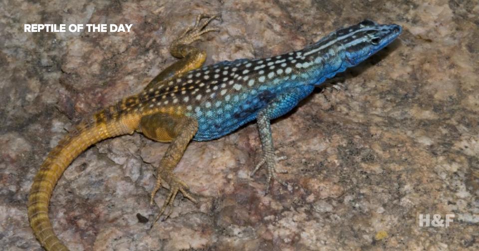 New lizard species named in honor of Sir David Attenborough