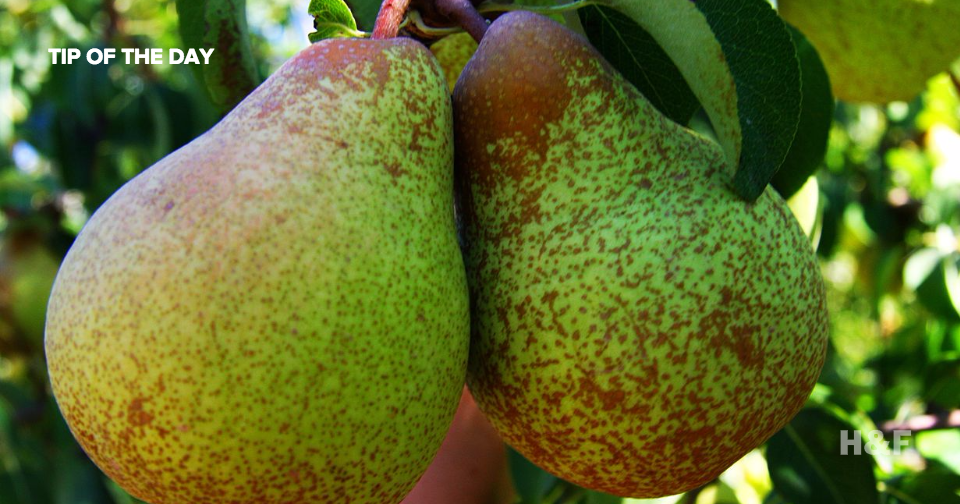 Science proves that eating pears will prevent hangovers