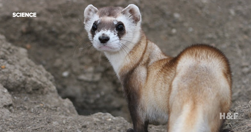 Endangered ferrets successfully bred from frozen sperm