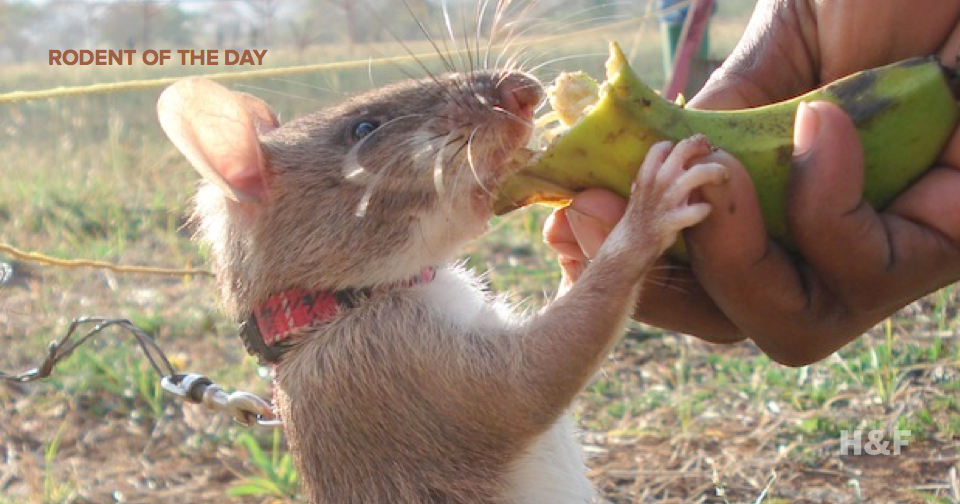 Adorable giant rats are being used to detect landmines in Cambodia