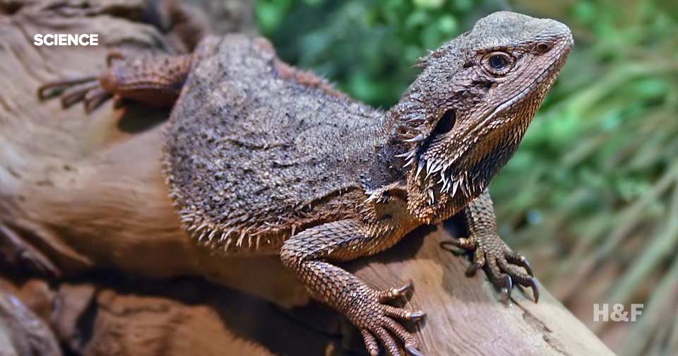 Male dragon lizards are becoming female because of climate change