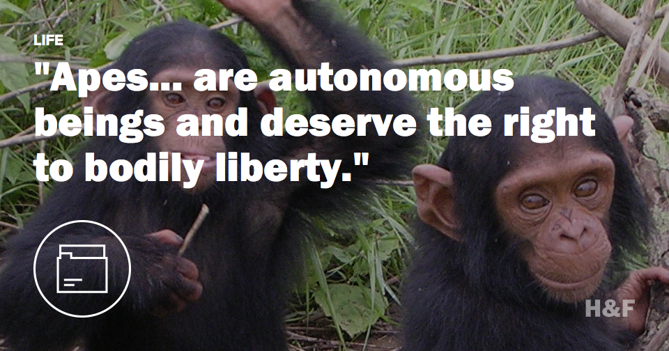 Two chimps get legal human rights