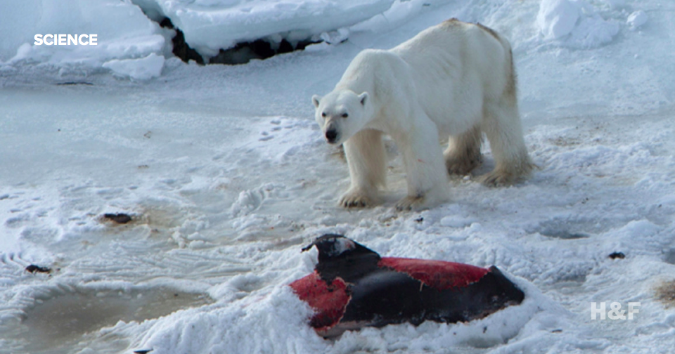 Polar bears are now eating dolphins
