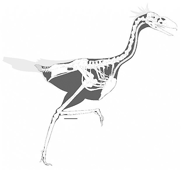 FIGURE 2. Skeletal anatomy of Llallawavis scagliai, gen. et sp. nov. MMP 5050. Bones colored in gray are missing. Scale bar equals 0.10 m. Image: Tandfonline.com. Image 1.