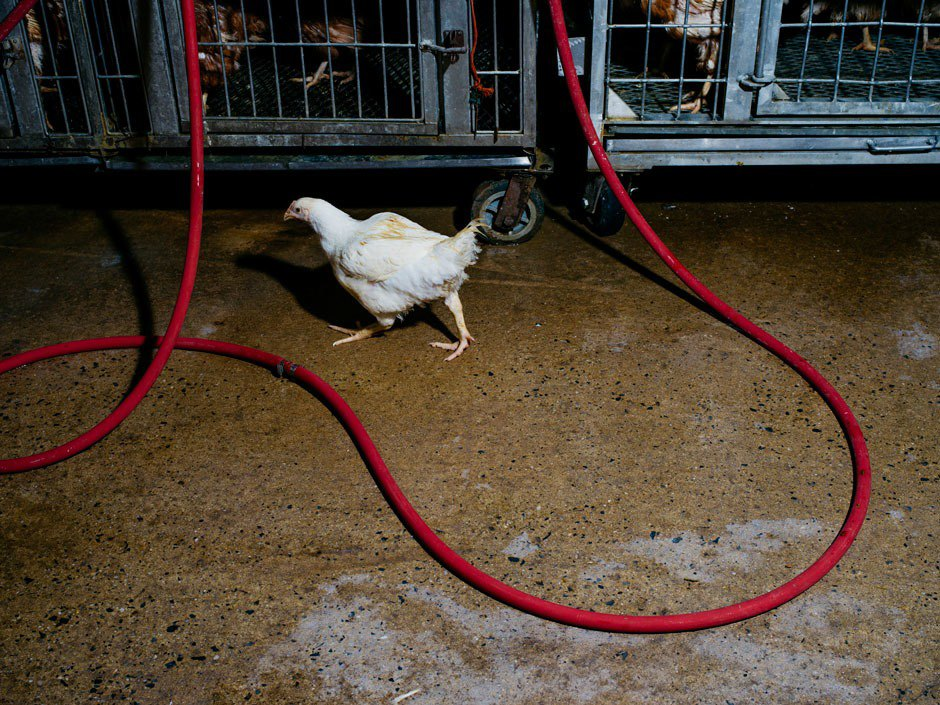 The messy business of NYC's live poultry industry. Image 9.