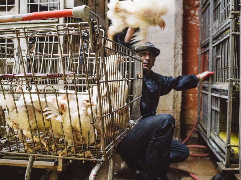 The messy business of NYC's live poultry industry. Image 6.